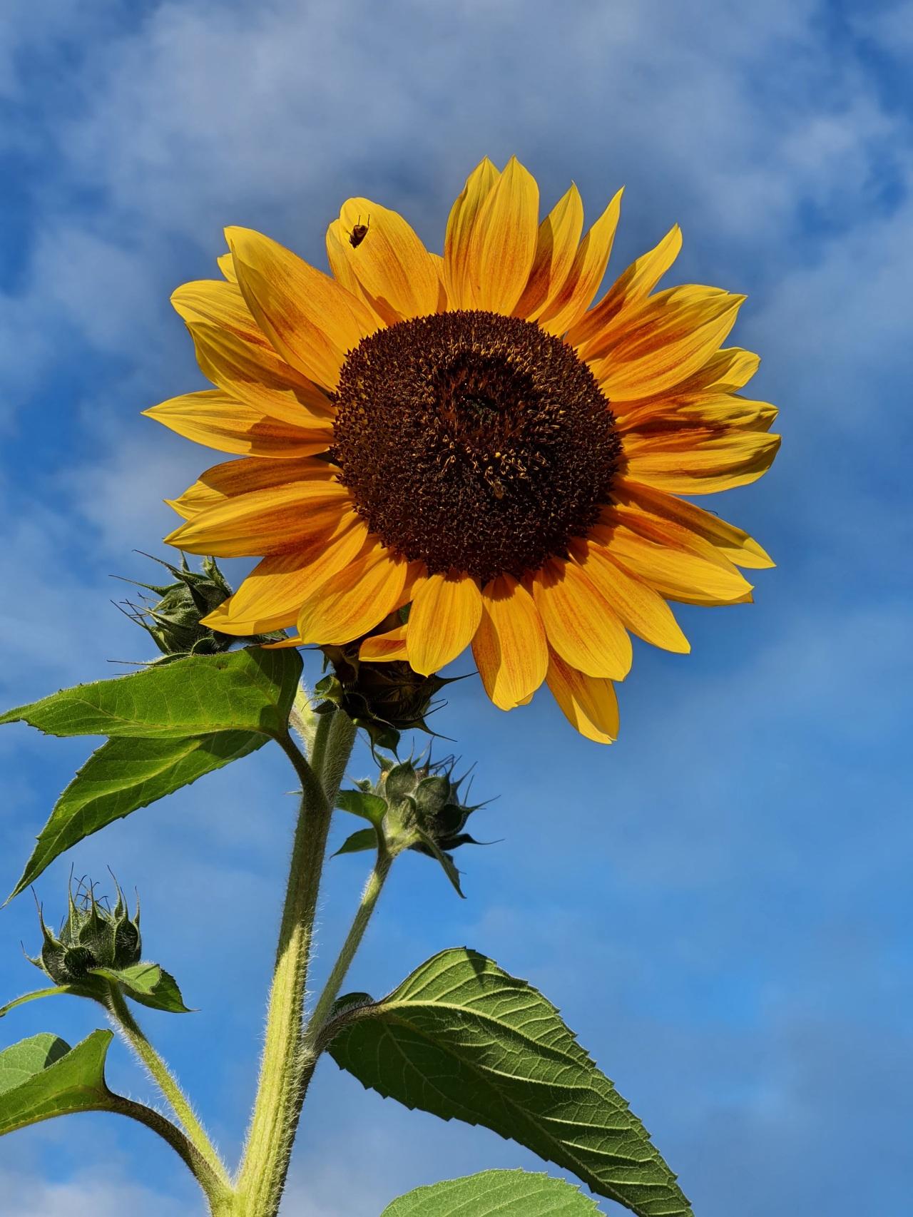Wunderwelt der Sonnenblumen