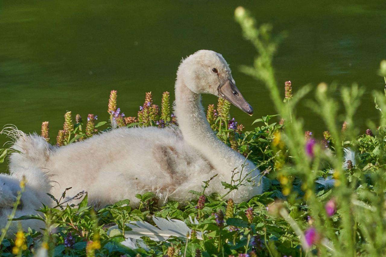 wildlife photography –swan